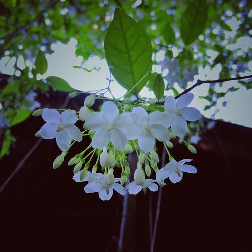 Wild Water Plum Tiny Flowers White Flowers Flower Fragility Growth Beauty In Nature Nature Plant Leaf Blossom Freshness Petal Day Flower Head No People Tree Close-up Outdoors Branch Springtime Blooming