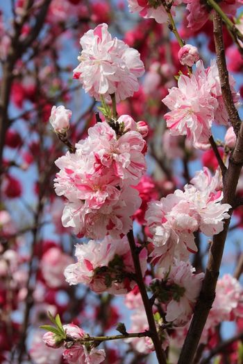 Hana Momo Flower Peach Plant Flowering Plant Flower Pink Color Fragility Growth Vulnerability  Blossom