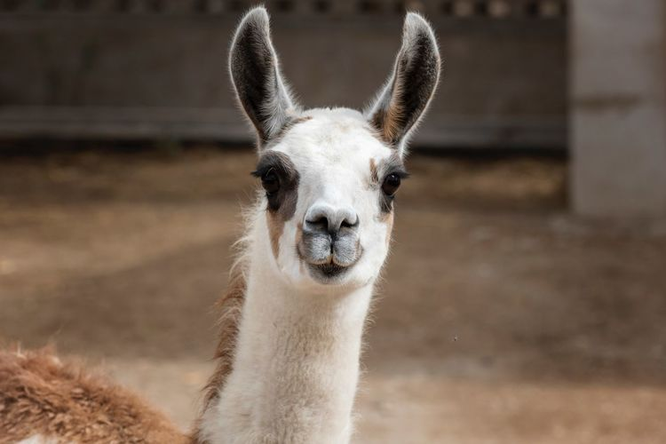 Lama Portrait Animal Themes Animal One Animal Mammal Vertebrate Focus On Foreground Animal Wildlife Animal Body Part Portrait No People Animal Head  Domestic Animals Llama Looking At Camera Animals In The Wild Close-up Livestock Nature