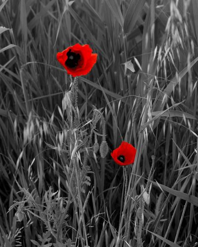 Hanging Out Taking Photos Check This Out Hello World Flowerporn Flowers_collection Flowerlovers Flower Collection EyeEm Best Shots - Flowers Edits_bnw Edits_flores Ideecreative Rosso Papaveri.rossi.passion.spring.sun.hot.aspettando.l'estate Papaveri Poppies  Ig_photolove Ig_captures AMPt -Diversity Tadaa Community Tadaabestshot AMPt_Nature EyeEm Flower Details Of Nature Blackandwhite Photography