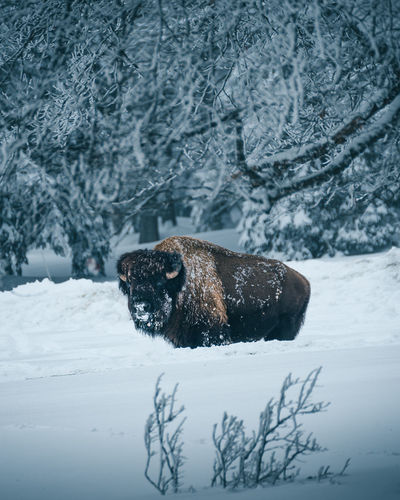 Bison Buffalo The Week On EyeEm Animal Themes Animal Wildlife Animals In The Wild Beauty In Nature Cold Temperature Day Domestic Animals Frozen Mammal Nature No People One Animal Orvin Outdoors Pets Snow Snowing Tree Weather Wild Wildlife Winter