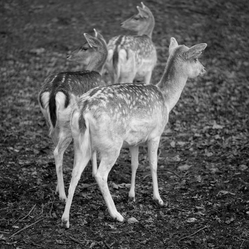 Animal Themes Animal Wildlife Animals In The Wild Cervids Day Deer Deers Fear Looking Mammal Nature No People Outdoors Roe Deer Standing Stress Stressed