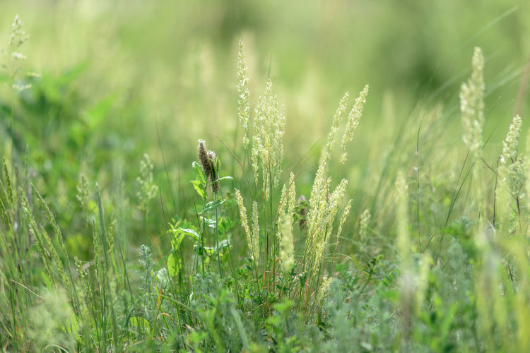 wild grass on June meadows, Middle of Russia Field Grass Green Green Color Russia Russian Nature Bokeh Color Meadow Summer Vibrant Wild Grass