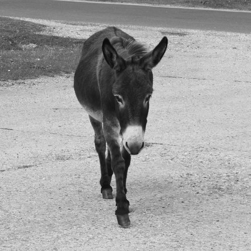 One Animal Mammal Livestock Outdoors No People Nature Animal Themes New Forest Nature Donkey Donkey Portrait Black And White Black And White Photography