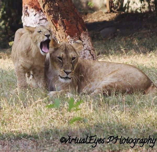 The magestic roar of lioness. 🐾 Virtualeyes Virtualeyesphotography Photography Nature Beauty Lens Camera Naturelover Naturelovers Beautiful Picoftheday Pictureoftheday Picture Love Lion Lioness Roar Cub Family Animals Animallove Animal Wild Wildanimal Lions
