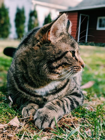 Pets Domestic Cat Close-up Grass Feline Ginger Cat At Home Cat Whisker Backyard Tabby Tabby Cat Kitten Front Or Back Yard Residential Structure Home