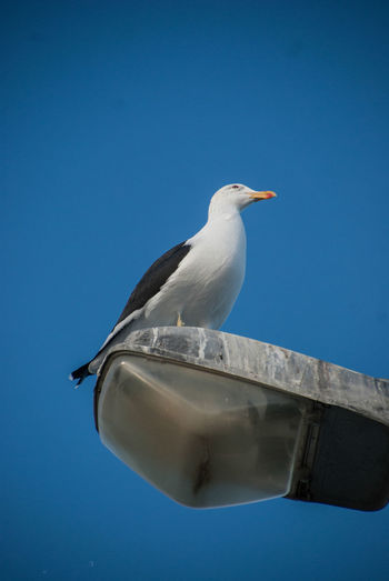 Low angle view of seagull perching on rock against blue sky