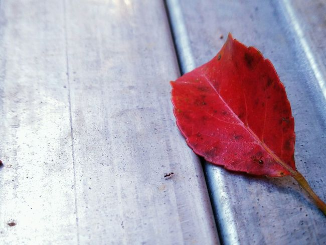 Red leaf! No more waitings!good bye autumn! Oppography Drastic Edit EyeEm Nature Lover Gift By Nature Hello World Walking Around Street Photography Traveling Open Edit Colour Of Life Colours On The Road Getting Inspired Light And Shadow Quiet Moments Abstract Leaf Red Red Leaves, Autume, Season Change Autumn Autumn Colors EyeEmNewHere Art Is Everywhere EyeEm Diversity