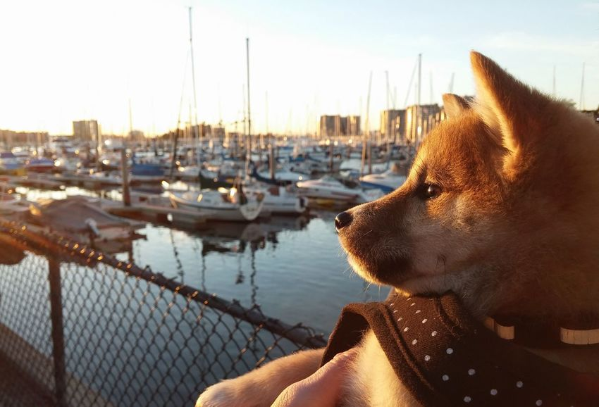 She loves to watch the ships sail at sunset Boat Boats Colar Harness Love Marina Perspective Pet Harness Pets Polkadots Puppy Puppy Love Sailing Shiba Inu Shiba Inu Puppy Shiny Ship Ships