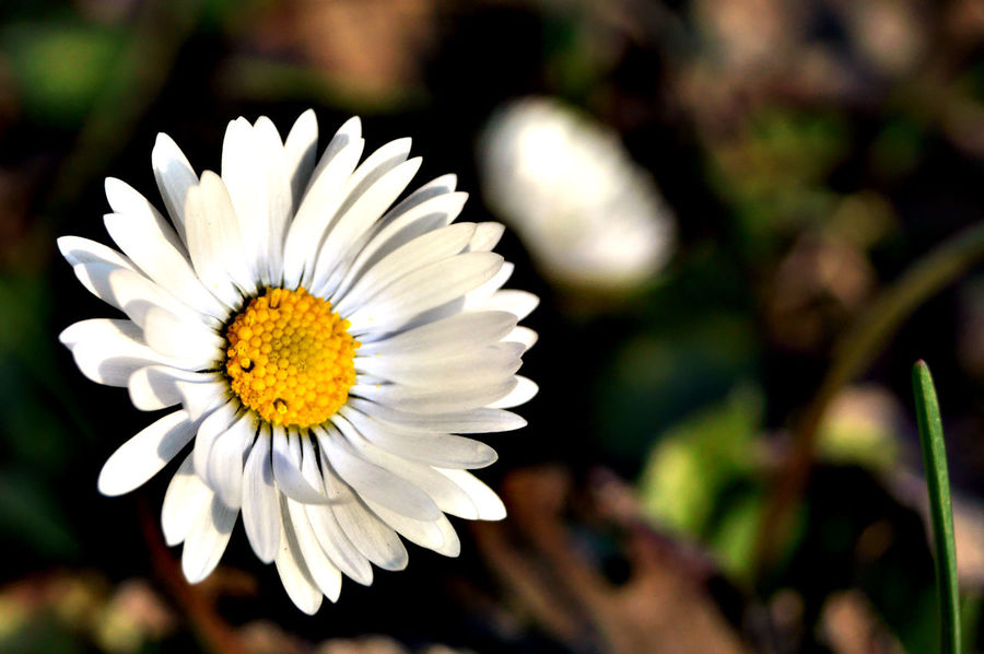 Background Beauty In Nature Blooming Close-up Daisy Daisy Close Up Daisy Flower Daisy 🌼 Daisyporn Fiore Flower Flower Head Flowerporn Flowers, Nature And Beauty Focus On Foreground Fragility Freshness Full Frame Growth Margherita Nature Outdoors Petal Plant Pollen