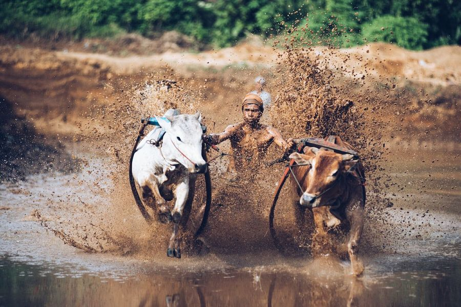 Animal Themes Animals In The Wild Splashing Outdoors Mammal Day Nature No People Animal Wildlife Water Domestic Animals Togetherness Cow Buffolo Padang, Indonesia Young Men Local Sports Pacu Jawi Tradional Fun People Miles Away
