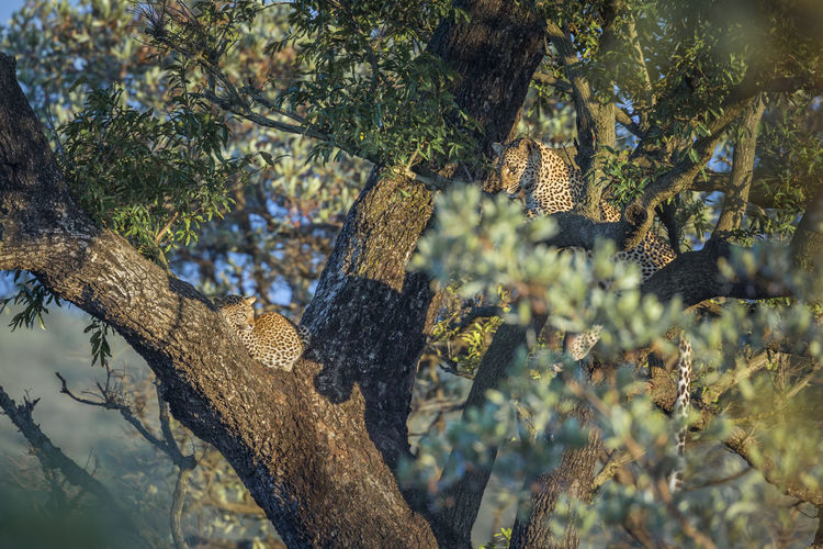 Leopards relaxing on tree at forest