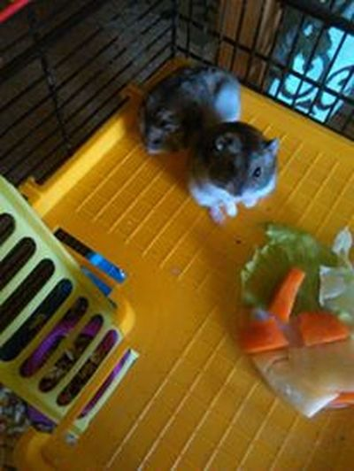 Animal Themes Close-up Day Hamster Hamster Love Hamsters Indoors  No People Yellow