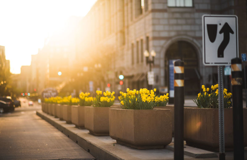 Yellow flowers on street amidst buildings