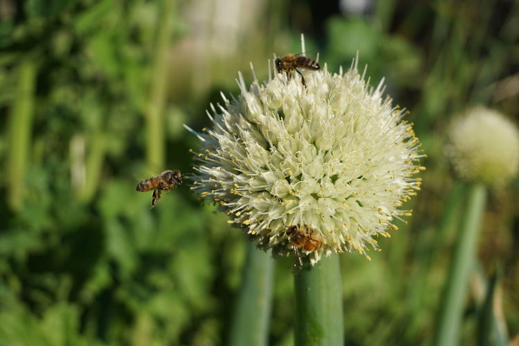 Close-up of bee pollinating on thistle