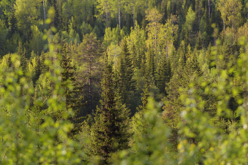 Tree_collection  Trees And Nature Tree Area TreePorn Treescape Nature Tree Pine Tree Forest Outdoors Beauty In Nature Green Color Tree Trunk Wilderness Area Sweden Planet Earth Forest Photography Forest View Spruce Tree Adventure WoodLand Getting Away From It All Trees Scenics