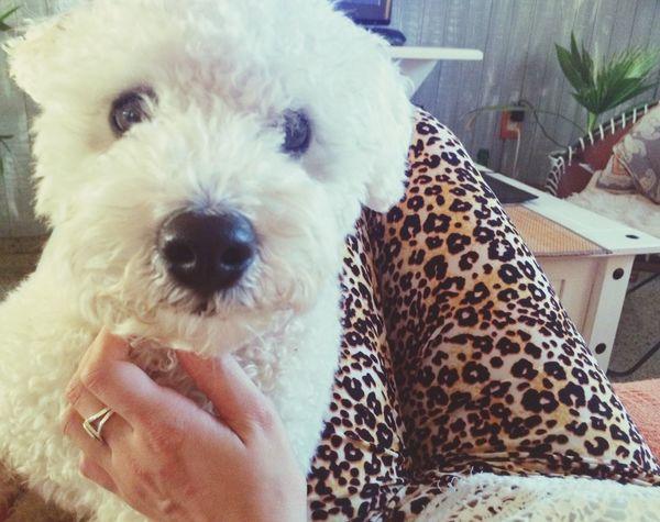Antonio Caniche PuppyLove Love Animals Antonio Amoreterno First Eyeem Photo