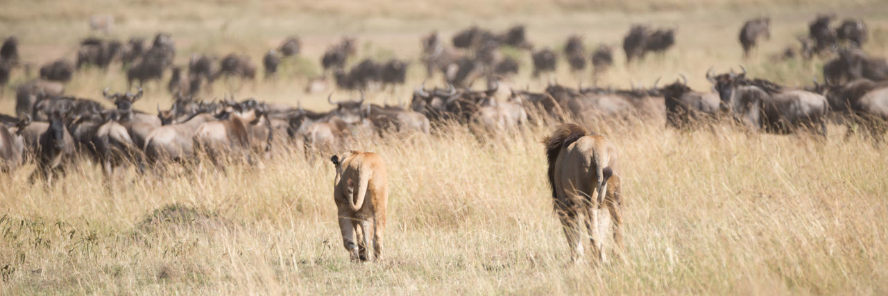 Lioness And Lion Walking On Grassy Field