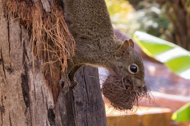 Close-up of squirrel carrying dry plant on tree trunk
