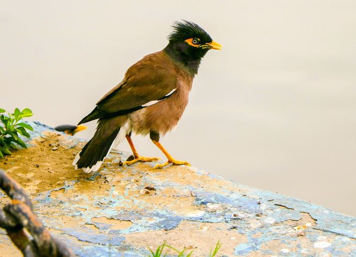 Bird Animal Wildlife One Animal Animals In The Wild Animal Themes No People Nature Day Myna Common Myna The Great Outdoors - 2017 EyeEm Awards BYOPaper! Live For The Story 100 Days Of Summer Be. Ready.