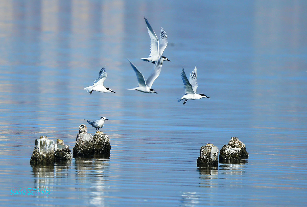 animals in the wild, animal themes, animal wildlife, bird, water, waterfront, reflection, nature, no people, lake, day, flying, beauty in nature, outdoors, spread wings