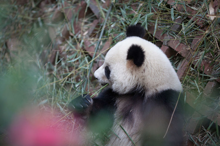Side view of a panda relaxing outdoors