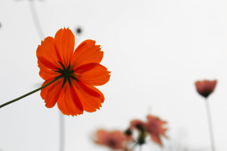 Beauty In Nature Bloom Blooming Blossom Botany Close-up Flower Flower Head Focus On Foreground Fragility Freshness Growth In Bloom Nature Orange Color Petal Plant Selective Focus Single Flower Softness Springtime Stem Vibrant Color White Background Yellow