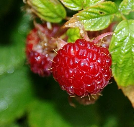 Nature Nature_collection EyeEm Nature Lover Day Food Nature Raspberry Berries