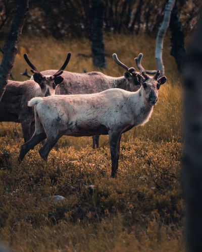 Reindeers in forest