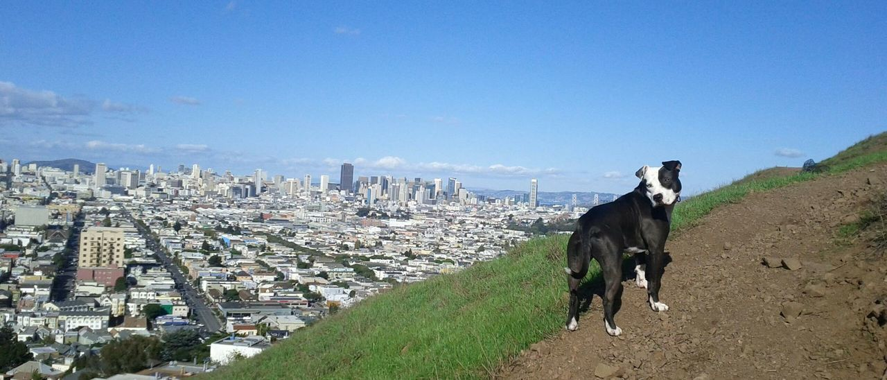 Spoon The Dog Bernal Heights San Francisco Exploring New Ground Pets Corner Staffy Pitbull Cityscapes Summer Dogs