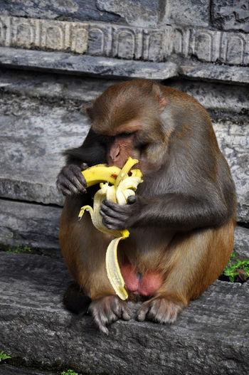 Full Length Of Monkey Eating Banana At Temple