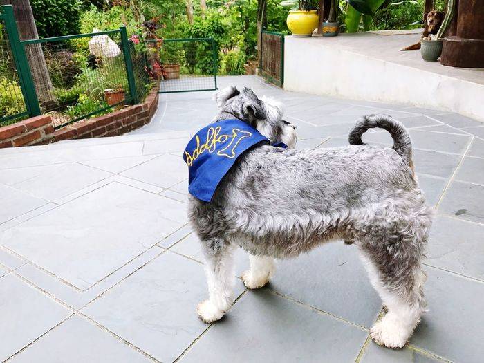 Pets Animal_collection Schnauzers Garden Plants No People Day Ground Level View Adolfo, ready for a play... Domestic Animals Dog Mammal