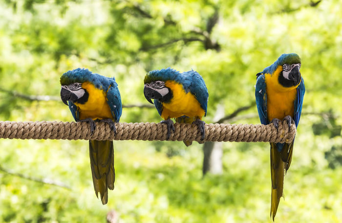 Macaws perching. Psittacidae Animal Themes Animal Wildlife Animals In The Wild Beauty In Nature Bird Branch Colorful Day Focus On Foreground Gold And Blue Macaw Macaw Macaws Multicolored Nature No People Omnivore Outdoors Parrot Perching Plummage Togetherness Tropical Climate Two Animals Vibrant