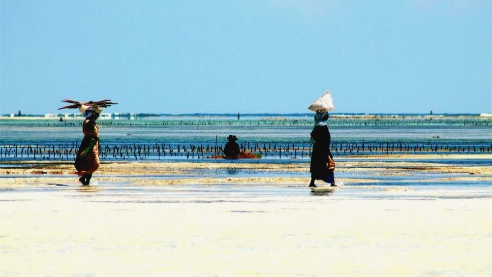 Local women collecting seaweeds Locals Zanzibar Women Seaweeds Daily Life Africa Sea And Sky