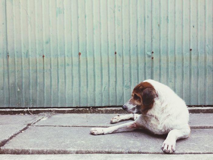 thai dog in slum Village Metal Fence Fence Pathway Path Way Way Slum Loll Dog Pets Animal Themes Mammal Outdoors Sidewalk Day