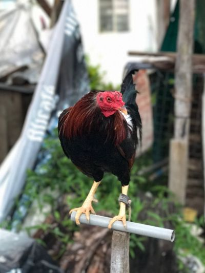 Heroic rooster waiting for his moment to shine on the stage. Nature Outdoors Rooster Chicken