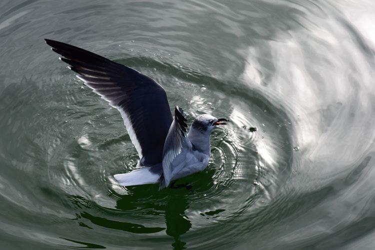 Gull afloat