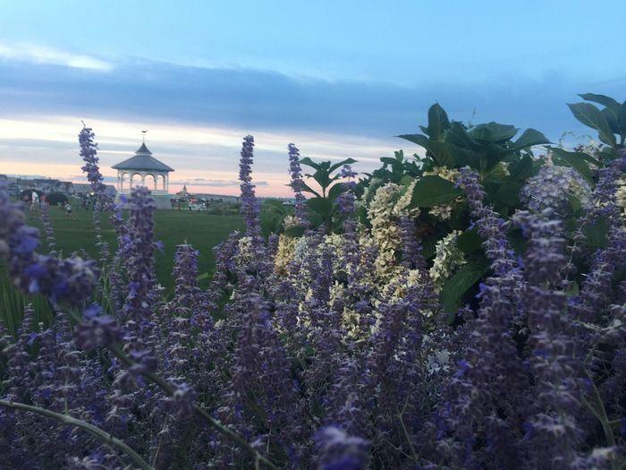 EyeEm Best Shots - Flowers Lavenderflower Marthasvineyard Oakbluffs Summer