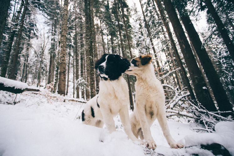 Animal Themes Beauty In Nature Cold Temperature Day Dog Domestic Animals Forest Mammal Nature No People Outdoors Pets Snow Togetherness Tree Tree Trunk Weather White Color Winter WoodLand