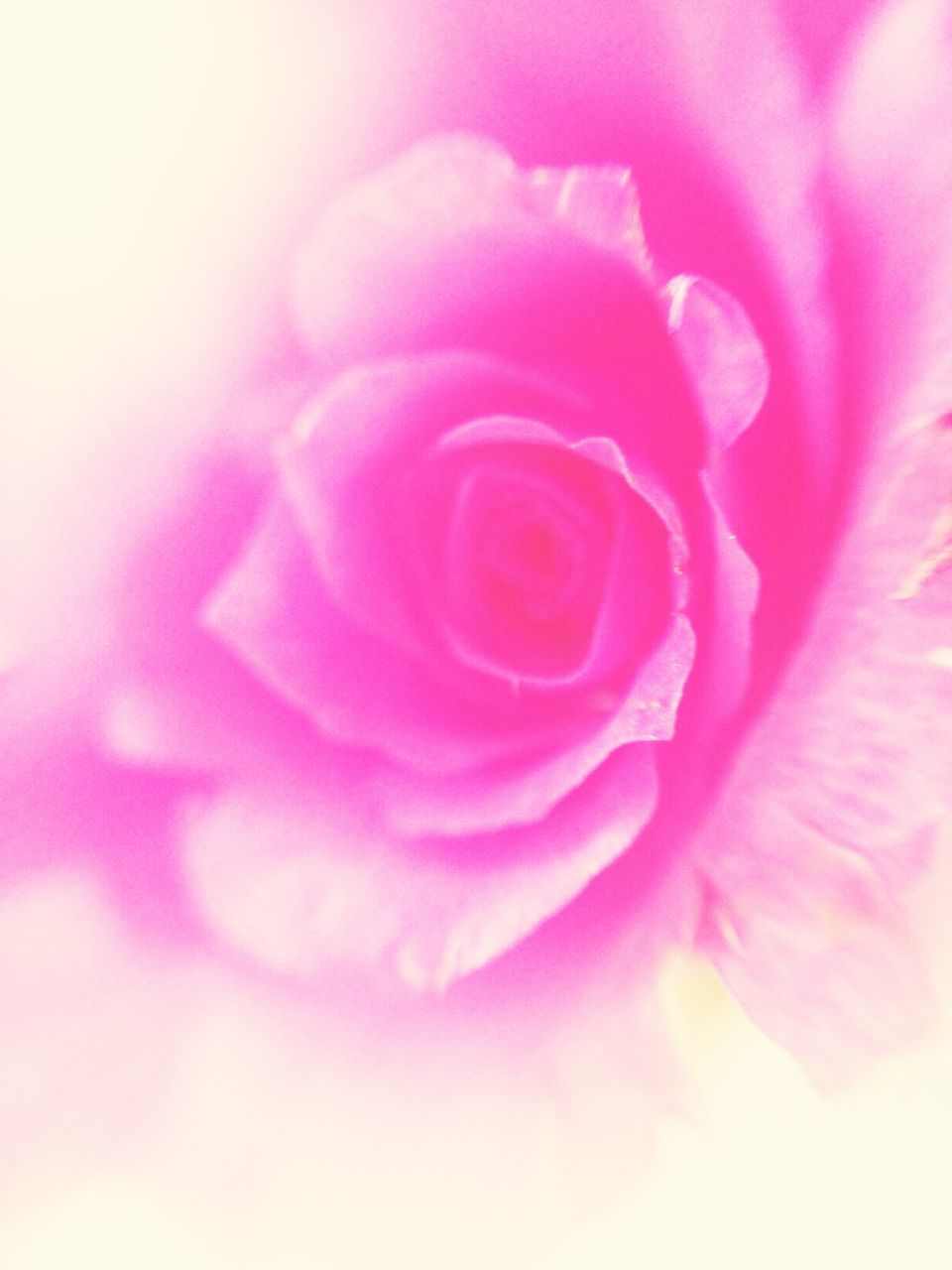 flower, nature, love, beauty, pink, petal, growth, spring, plant, beauty in nature, blooming, no people, close-up, flower head