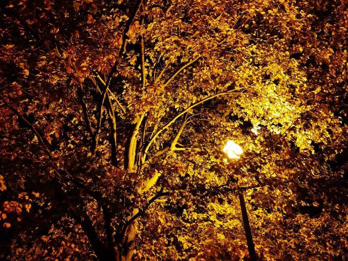 Street Light Yellow Orange Color Fall Fall Leaves Seasonal Illuminated Backgrounds Full Frame Tree Leaves Glowing