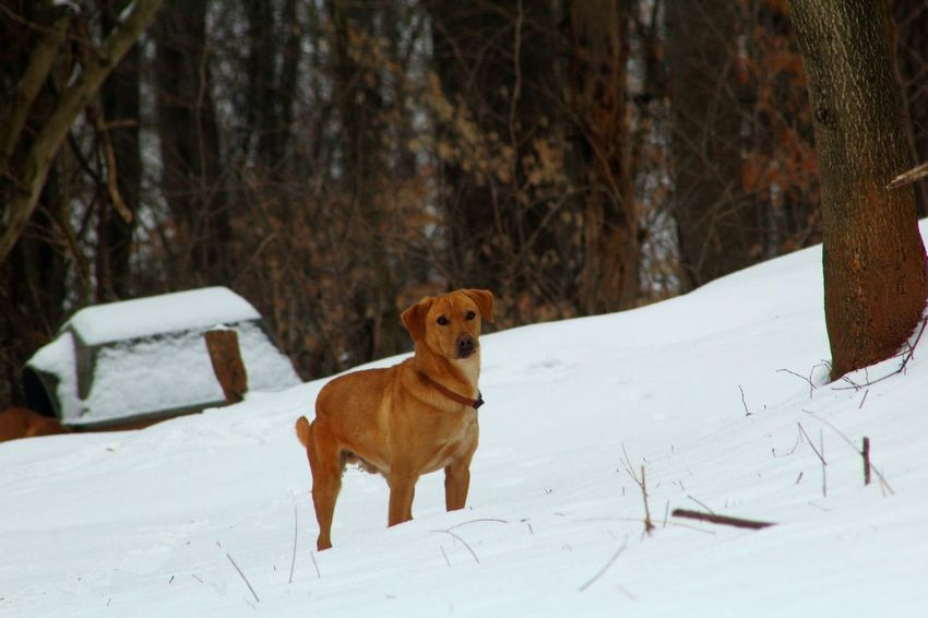 Brown Check This Out Cold Temperature Cold Weather Dog Lover Domestic Animals I Love My Dog I LOVE PHOTOGRAPHY Mammal My Dog Is Cooler Than Your Kid. My Dogs Are Cooler Than Your Kids Outdoors Pet Love Pet Photography  Pets Pets Corner Pets Of Eyeem Snow