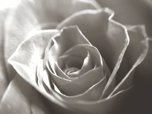 Monochrome bliss Backgrounds Full Frame Flower Softness Rose - Flower Petal Elégance Fragility Textured  No People Close-up Beauty In Nature Growth Nature Valentine's Day  Valentine Valentinesday Valentines Day Roses Rose🌹 Macro Rose Macro Nature Beauty In Nature Elégance