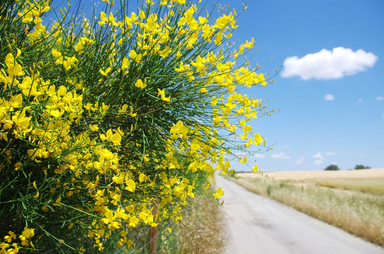 flowers of wild genista near old road Beauty In Nature Field Flower Flowering Plant Growth Nature Plant Road Sky Yellow