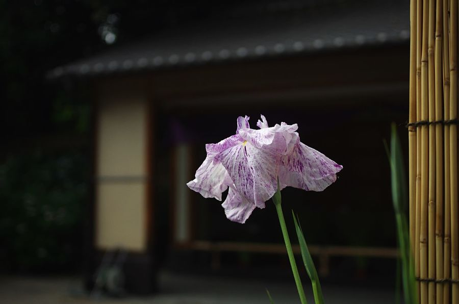 花菖蒲「旭匠」Japanese Iris 'Gyoku-sho' Japanese Garden Flowers Iris Japanese Culture Light And Shadow Darkness And Light EyeEm Nature Lover EyeEm Best Shots EyeEm Flower at 城北公園