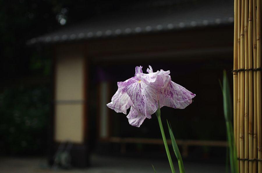 花菖蒲「旭匠」Japanese Iris 'Gyoku-sho' Japanese Garden Flowers Iris Japanese Culture Light And Shadow Darkness And Light EyeEm Nature Lover EyeEm Best Shots EyeEm Flower at 城北公園
