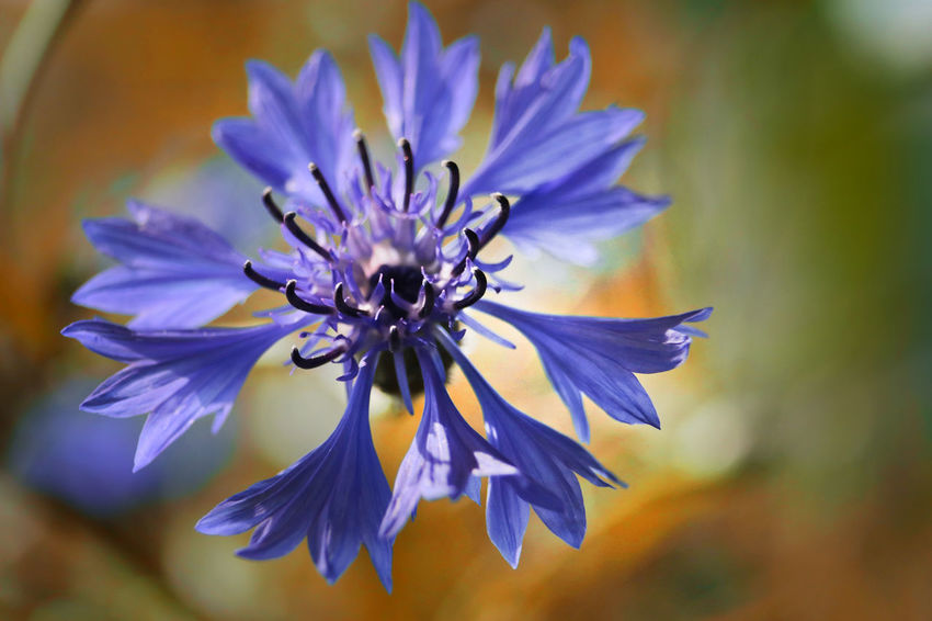 Beauty In Nature Blue Close-up Cornflower Cyanus Day Flower Flower Head Flowering Plant Focus On Foreground Fragility Freshness Growth Inflorescence Kornblume Nature No People Petal Plant Pollen Purple Selective Focus Vulnerability