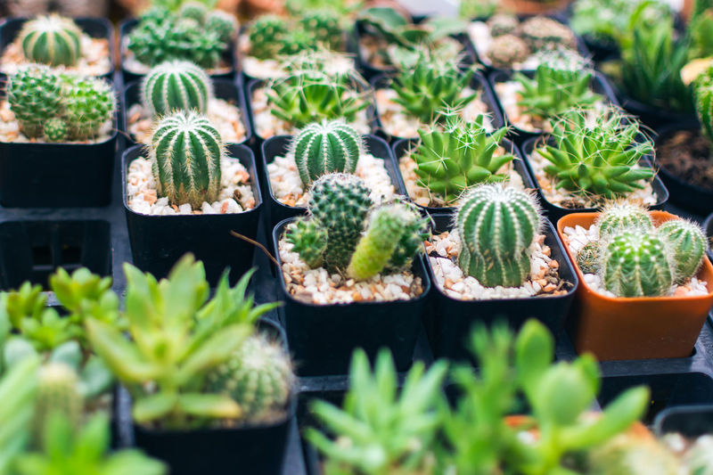 High Angle View Of Cactus Plants For Sale At Market Stall
