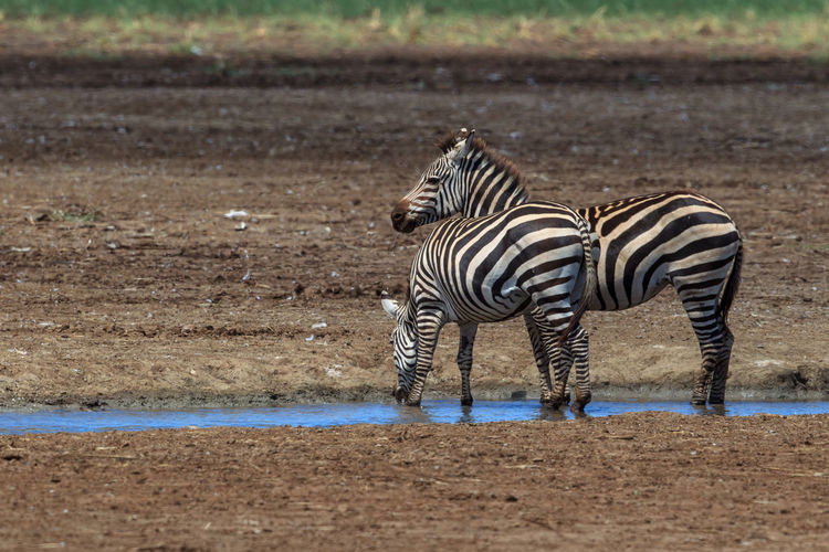 View of zebra drinking water