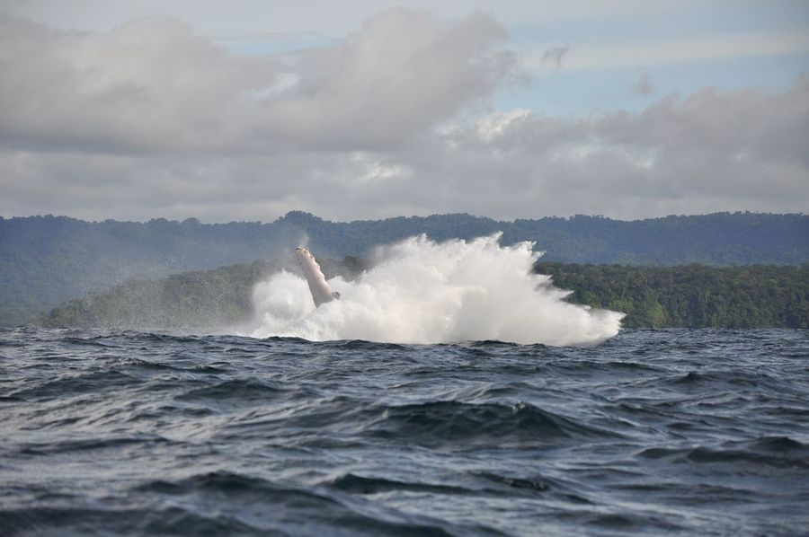 Colombia Humpback Whale Nuquí Whale Aquatic Mammal Beauty In Nature Betterlandscapes Cloud - Sky Force Mammal Motion Nature Power In Nature Sea Sea Life South America Splashing Water Waterfront Wave Whale Watching An Eye For Travel
